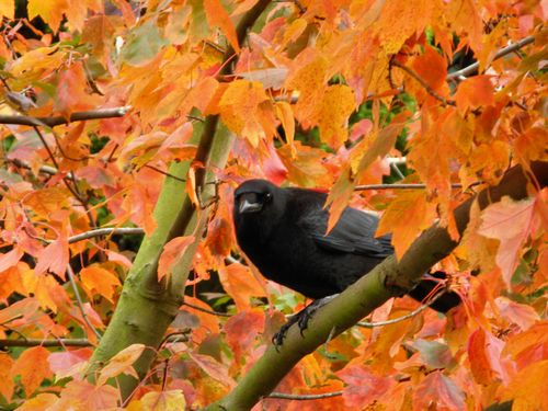 98 Red Maple Crow 11.1.13_007